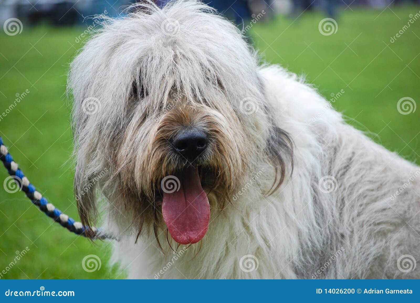 Retrato del perro pastor inglés