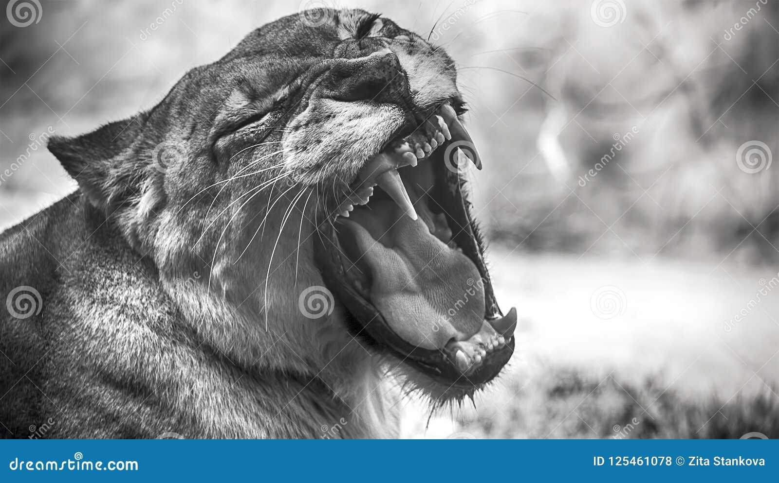 Retrato del primer de un león africano femenino