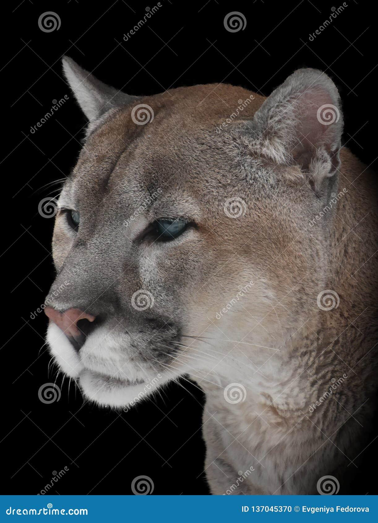 Retrato del primer de un puma de la montaña