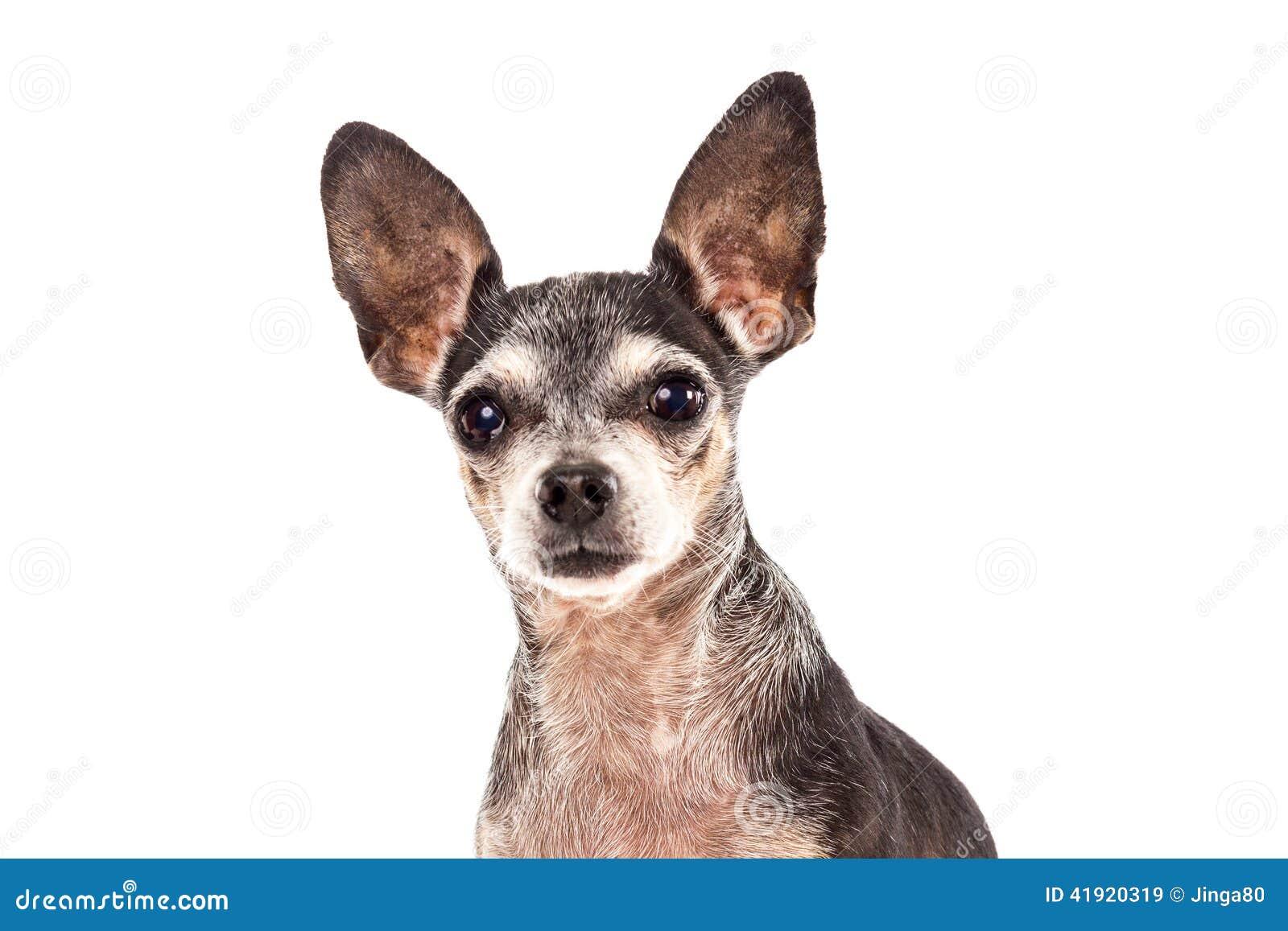 Retrato del primer del perro lindo de la chihuahua