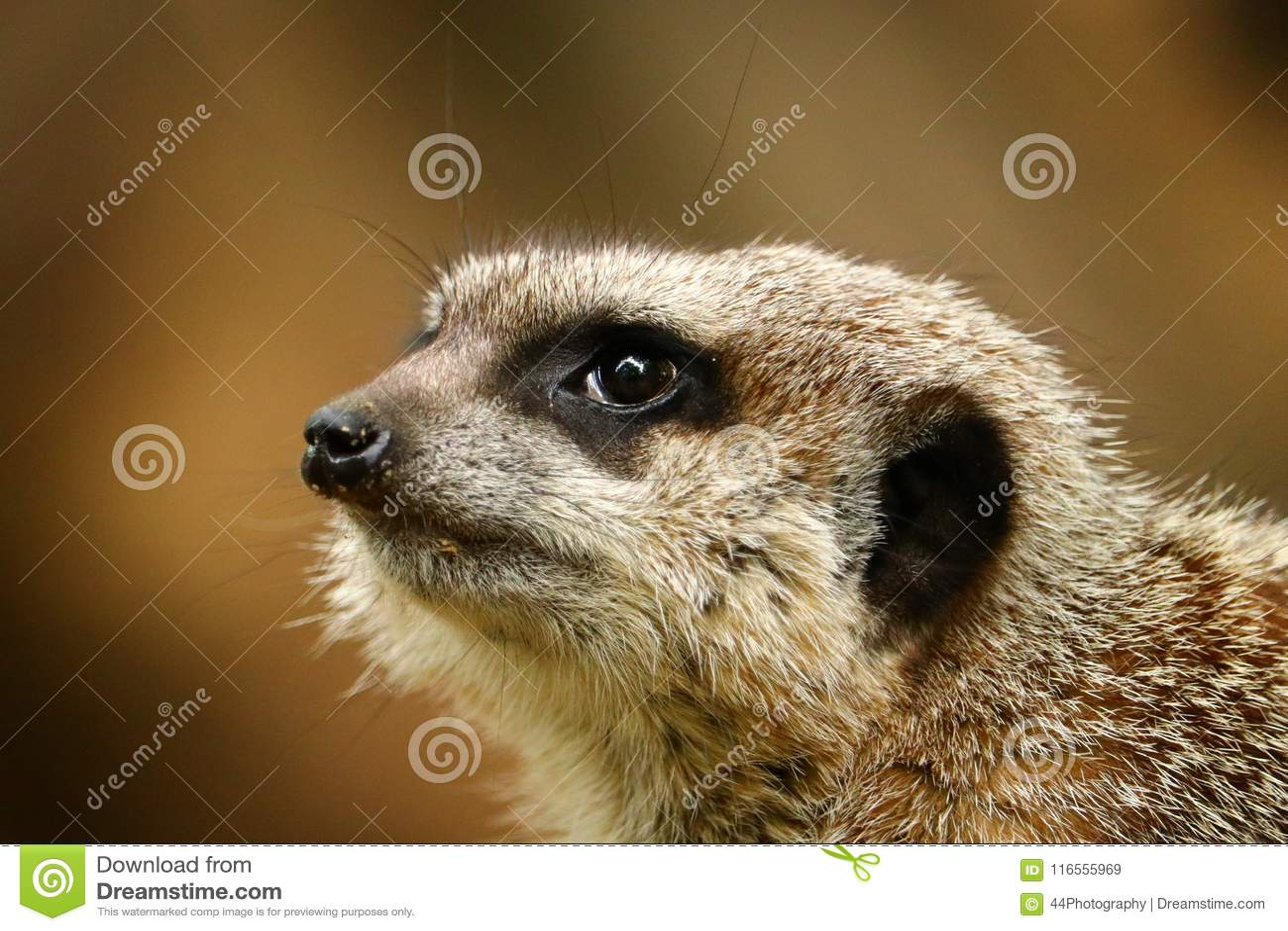Retrato del primer del meerkat