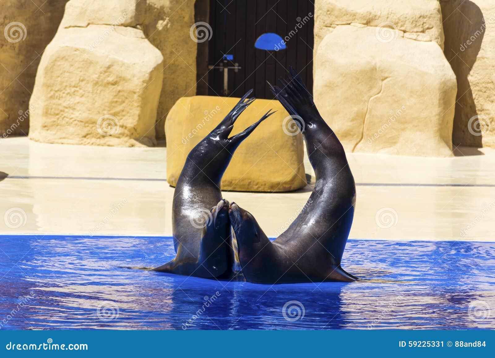 Retrato del sello marino que se besa cerca de piscina de agua