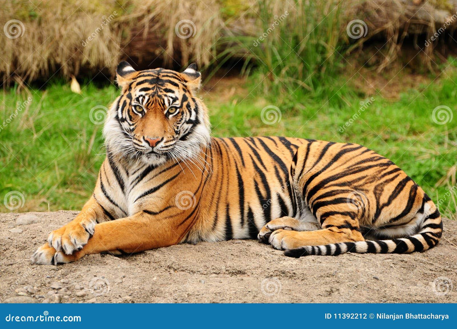 Retrato del tigre horizontal