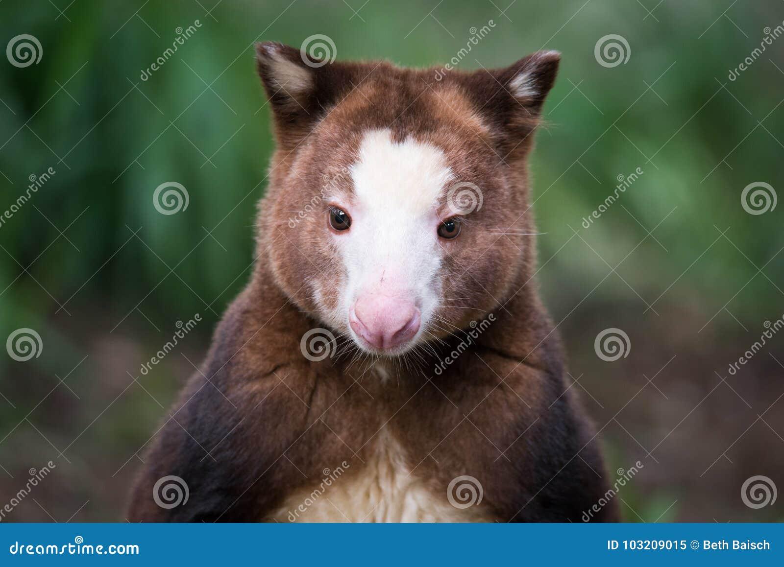 Retrato do árvore-canguru do ` s de Matschie