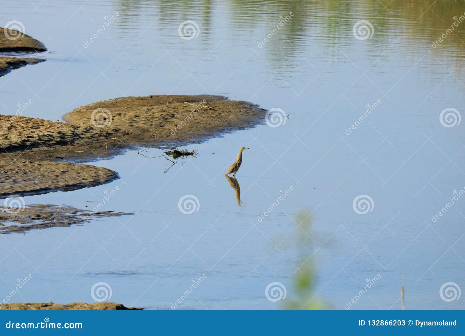 Retrato do bacchus chinês de Ardeola da garça-real da lagoa na natureza em Nepal