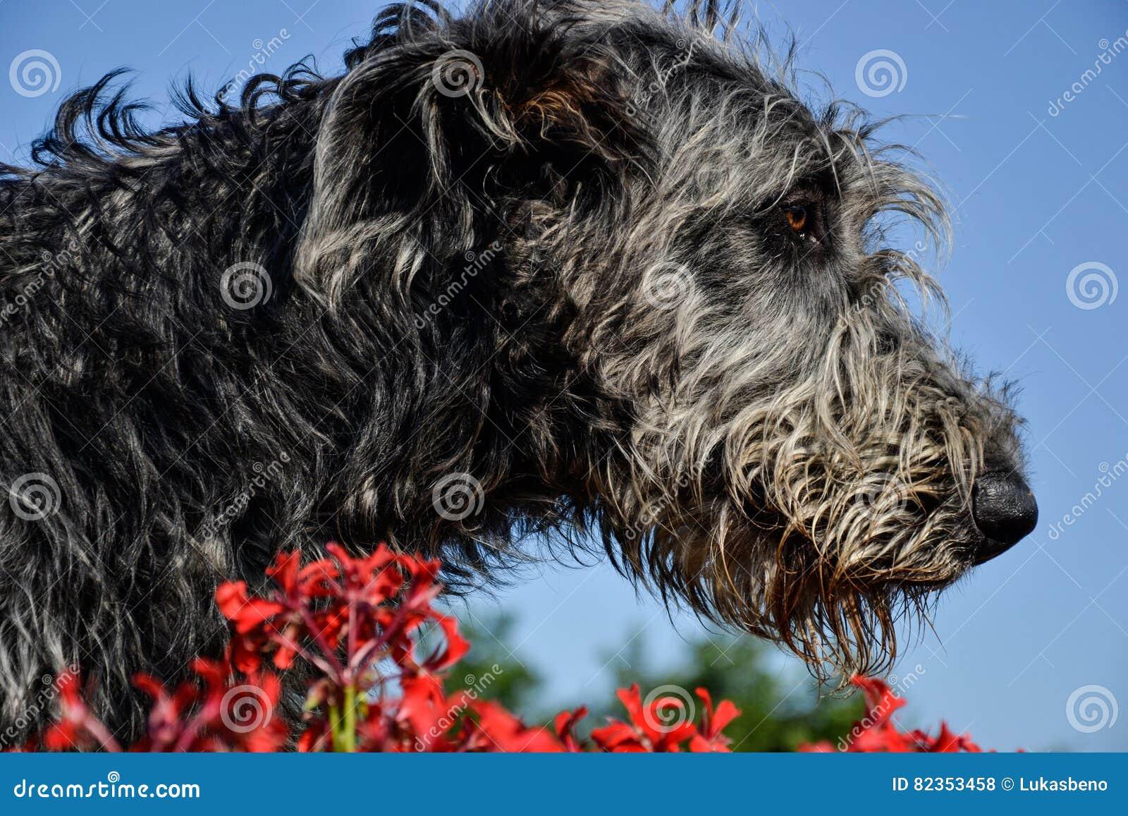 Retrato Do Cão Cinzento Bonito Do Cão Caçador De Lobos Irlandês Que