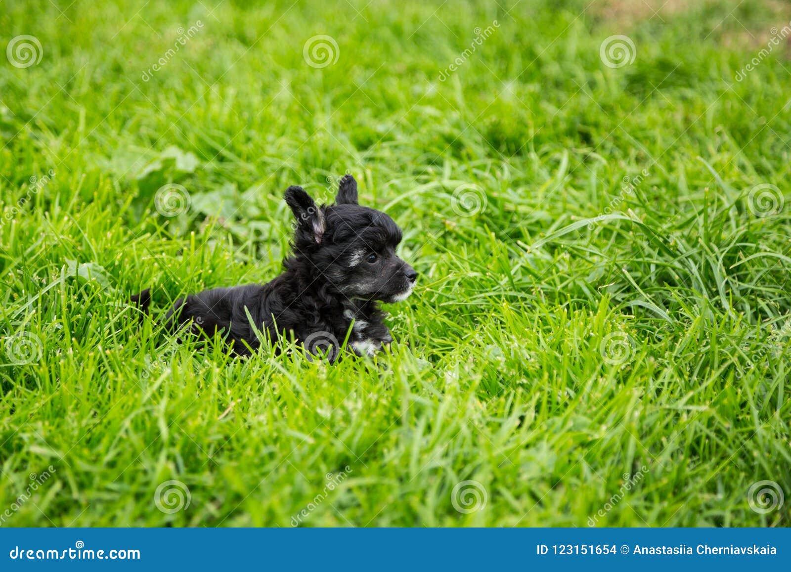Retrato do cão com crista chinês da raça do cachorrinho do sopro de pó preto que encontra-se na grama verde no dia de verão