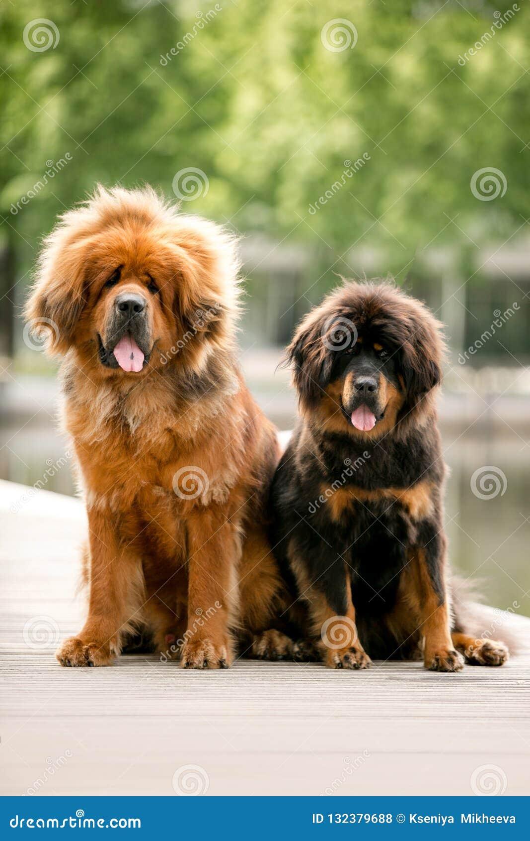Retrato do cão feliz bonito do mastim dois tibetano Parque verde no fundo