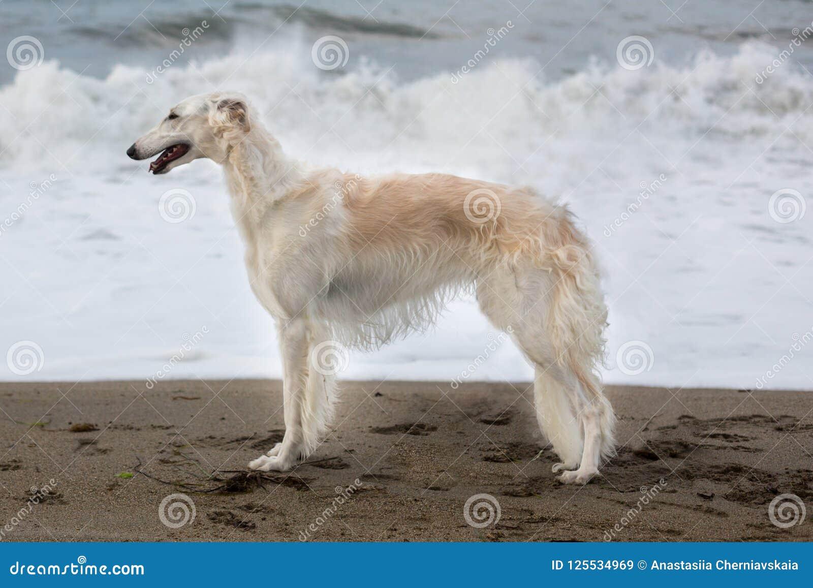 Retrato do cão molhado novo bonito do borzói do russo que está na praia