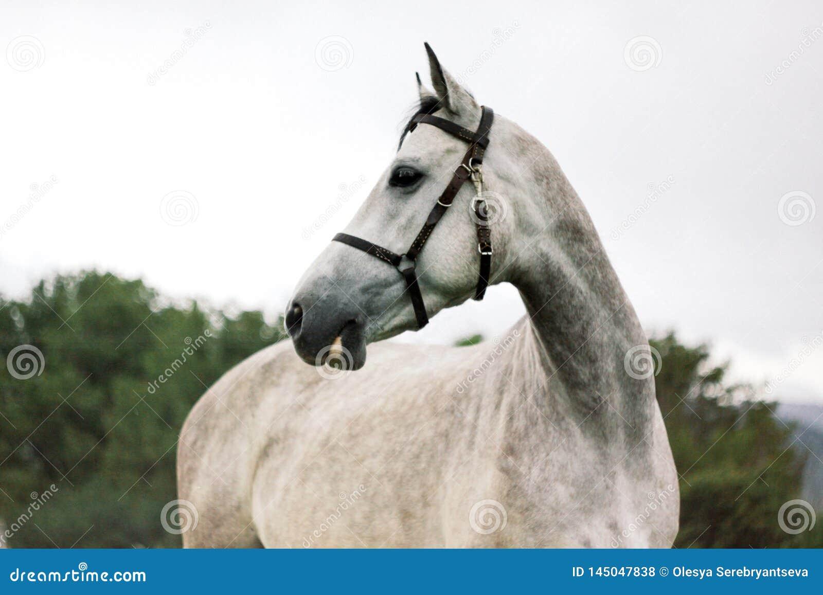 Retrato do cavalo cinzento bonito no fundo da natureza
