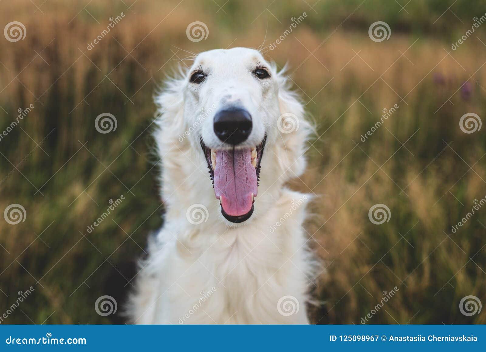 Retrato do close-up do cão feliz do borzói do russo no campo
