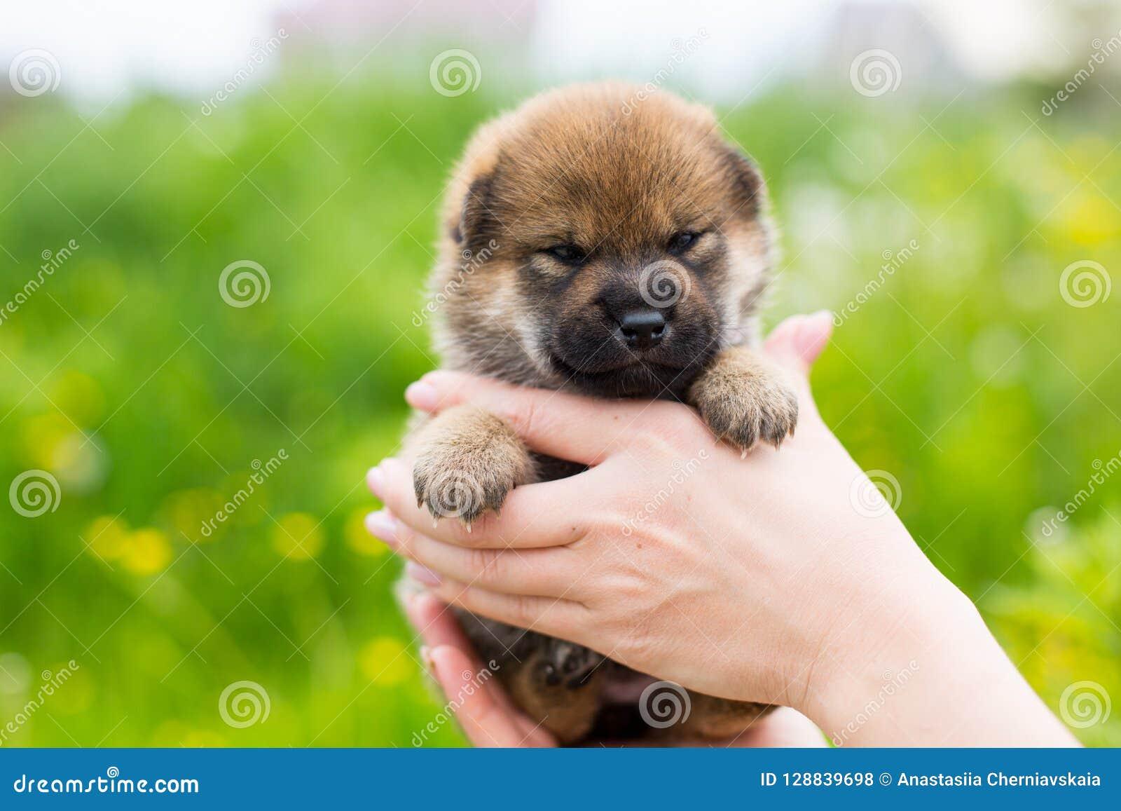 Retrato do close-up do cachorrinho velho adorável do inu de um shiba de duas semanas nas mãos do proprietário no prado do botão d