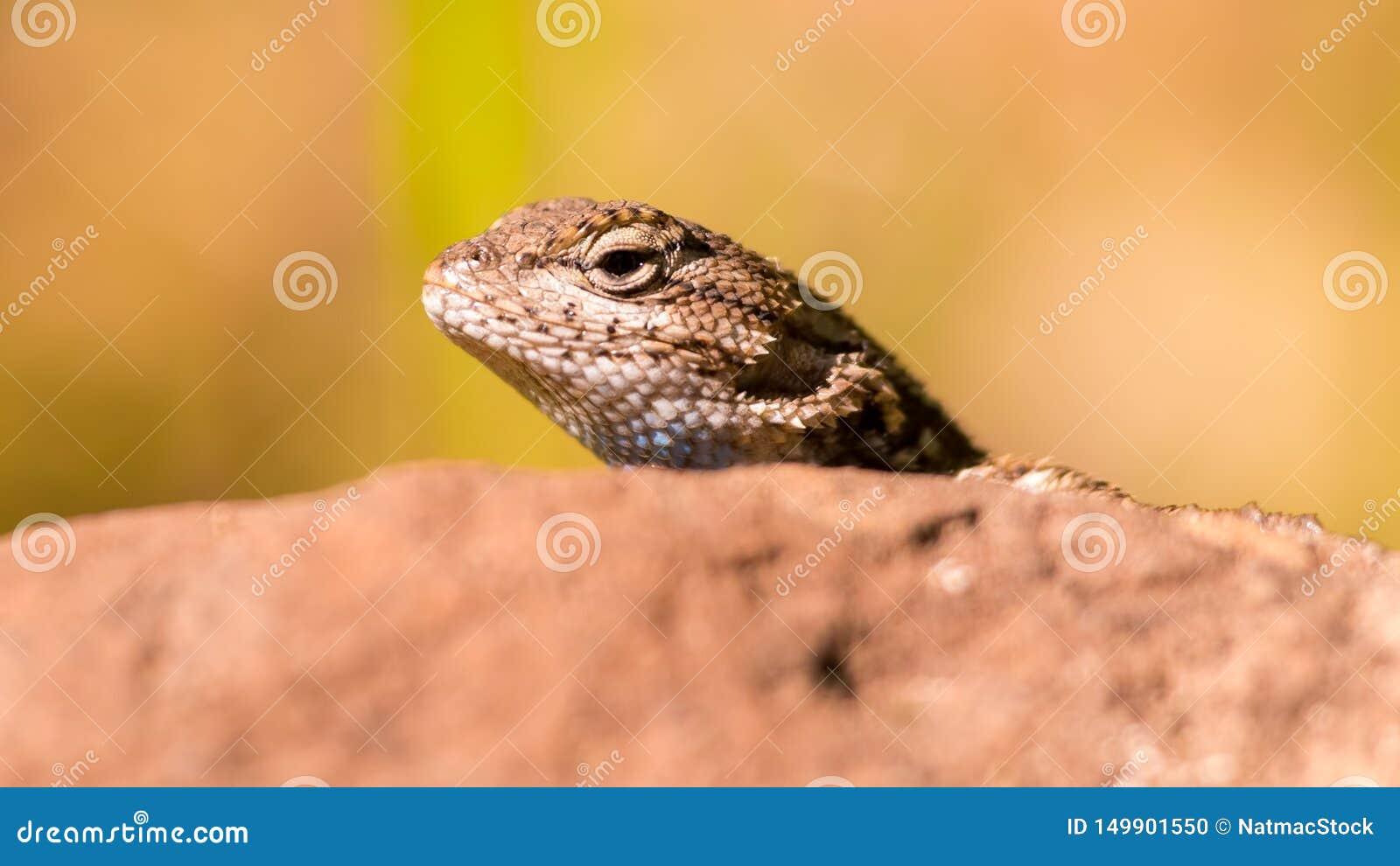 Retrato do close up da espécie do lagarto que espreita sua cabeça para fora acima de uma rocha no parque estadual do trione-Annad