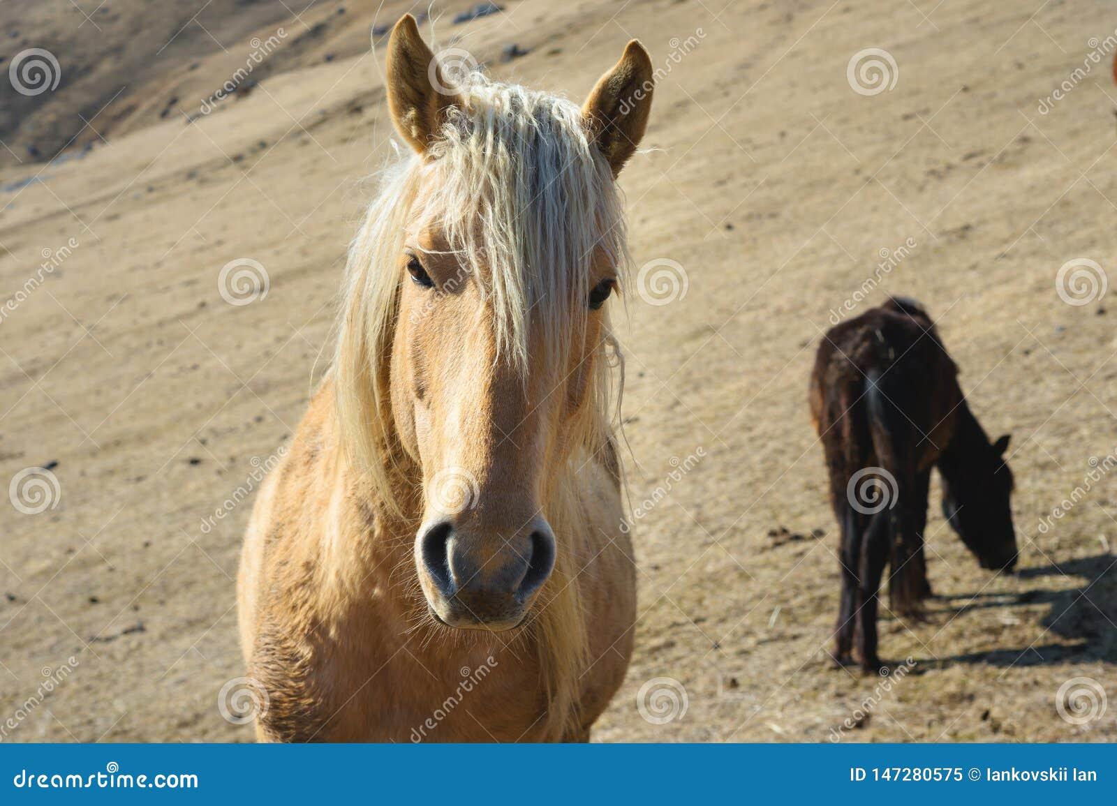 Retrato do close-up de um cavalo bege na perspectiva de um rebanho dos cavalos em pastos amarelos do outono da montanha