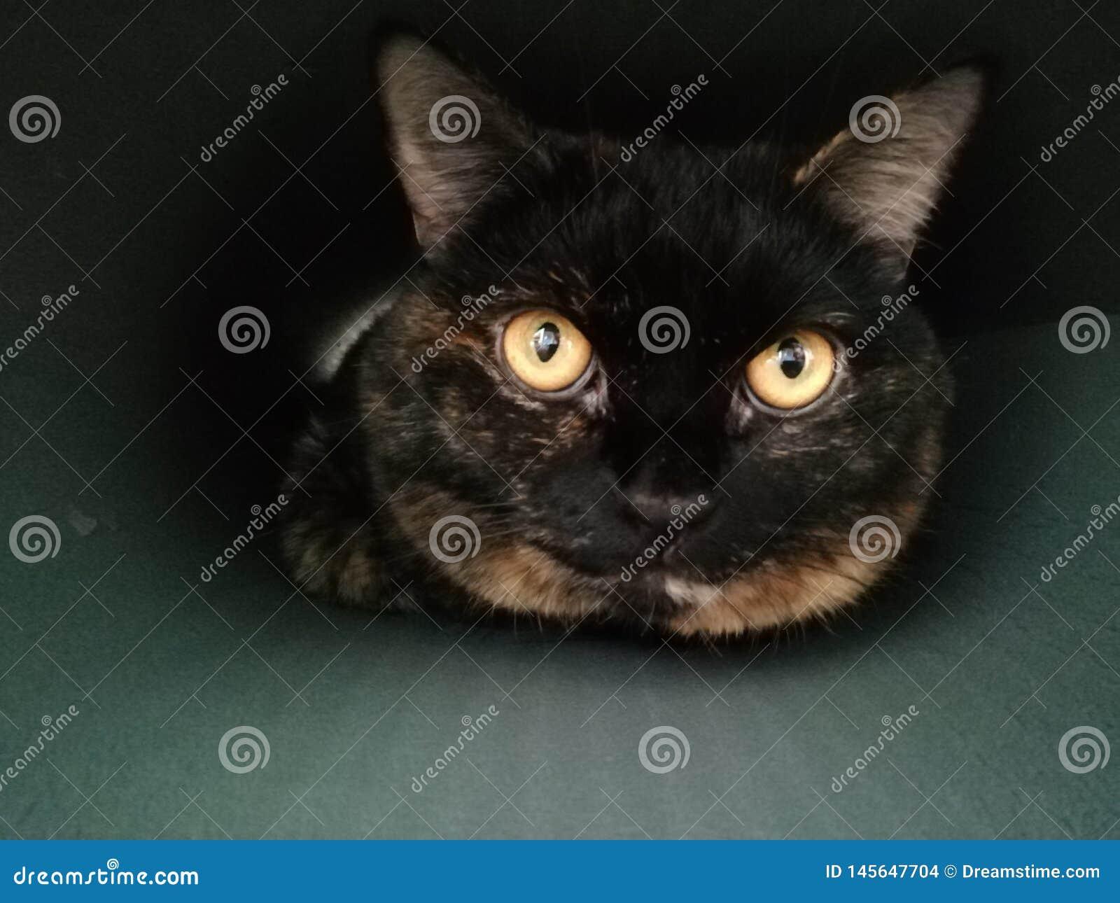 Retrato do close up do gato brit?nico