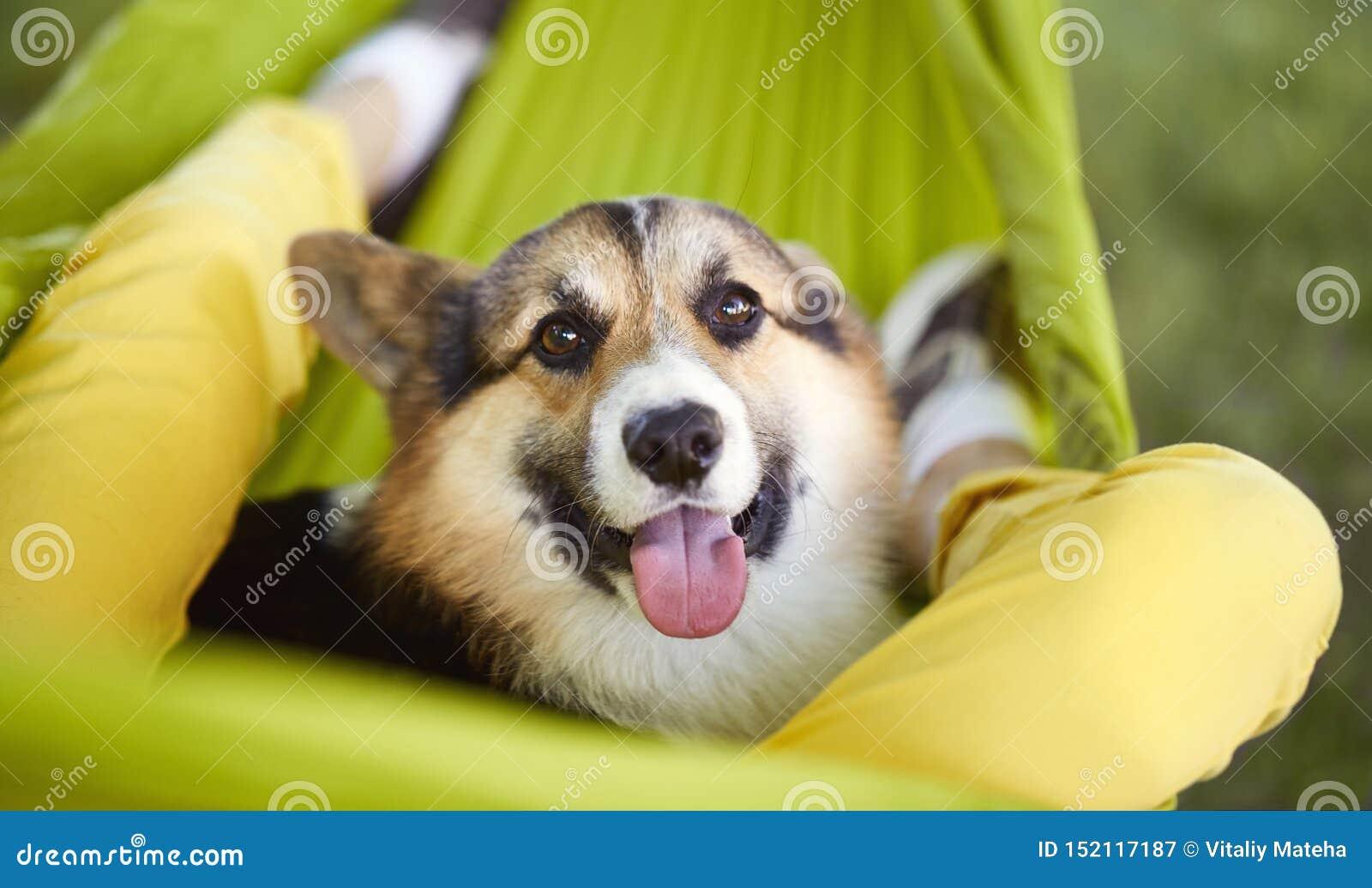 Retrato do close-up do Pembroke bonito do Corgi de Galês do cão que encontra-se na rede verde com seu proprietário Cachorrinho de