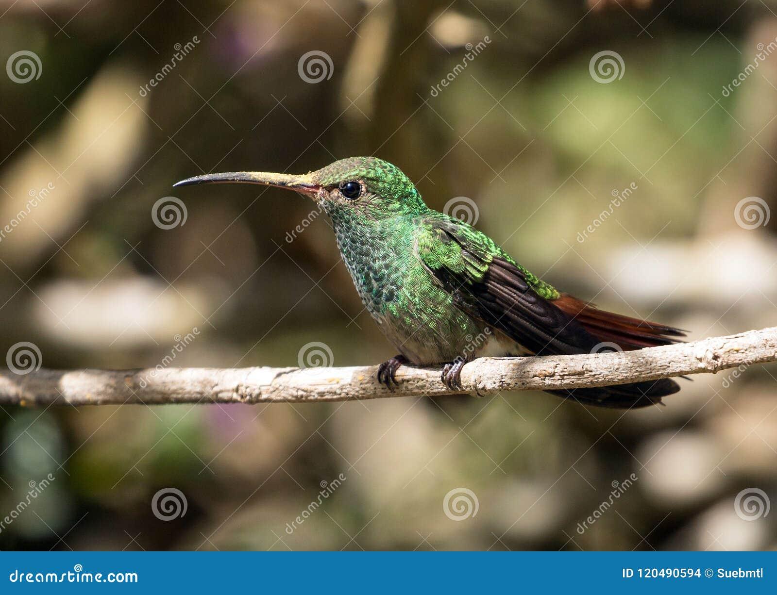Retrato do colibri Rufous-atado, Panamá