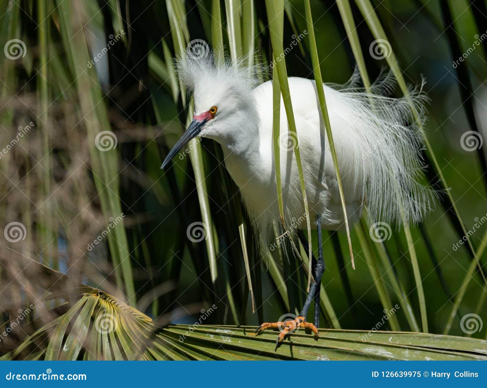 Retrato do Egret nevado