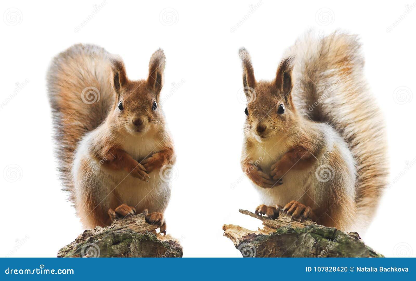 Retrato do esquilo dois vermelho bonito com pele e a cauda macias na
