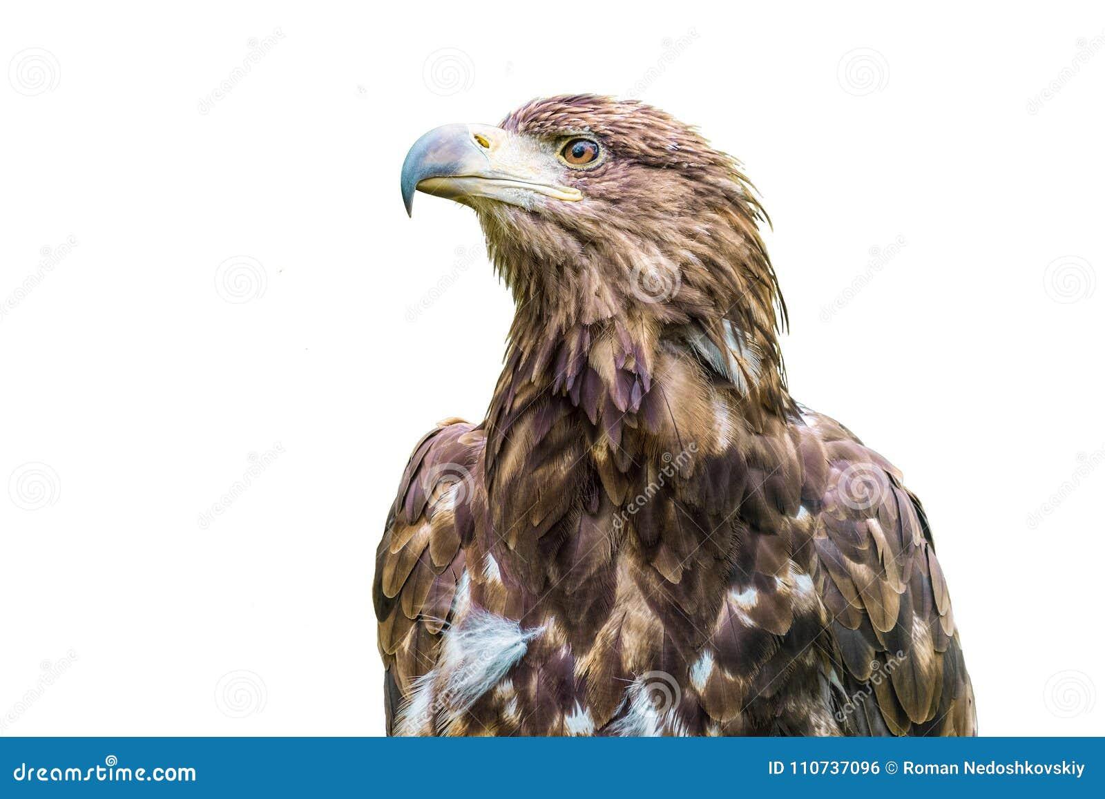 Retrato do estepe Eagle Pássaro de rapina selvagem