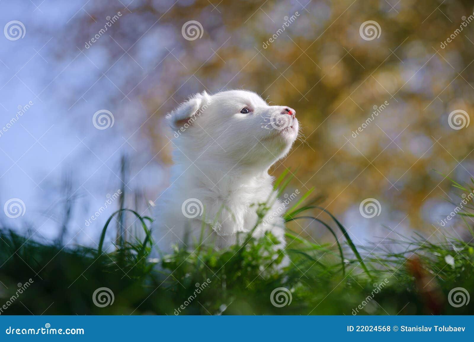 Retrato do filhote de cachorro yakutian do laika