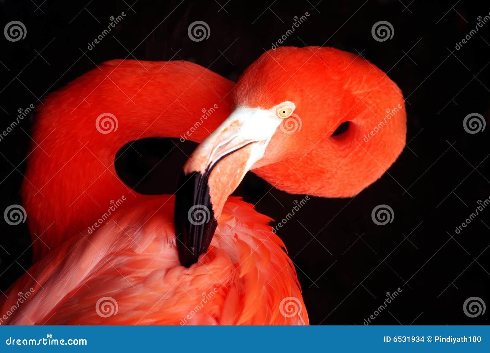 Retrato do flamingo