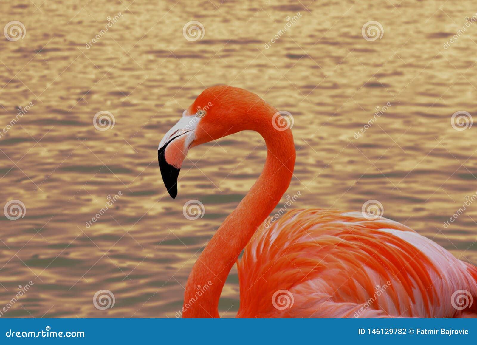 Retrato do flamingo do fim acima O pássaro aprecia nadar na água Uma reflexão maravilhosa do por do sol no fundo