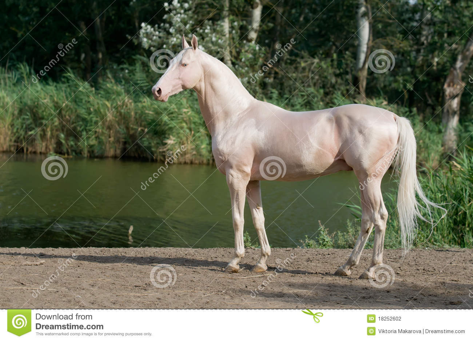 Retrato do garanhão do cavalo do akhal-teke de Cremello