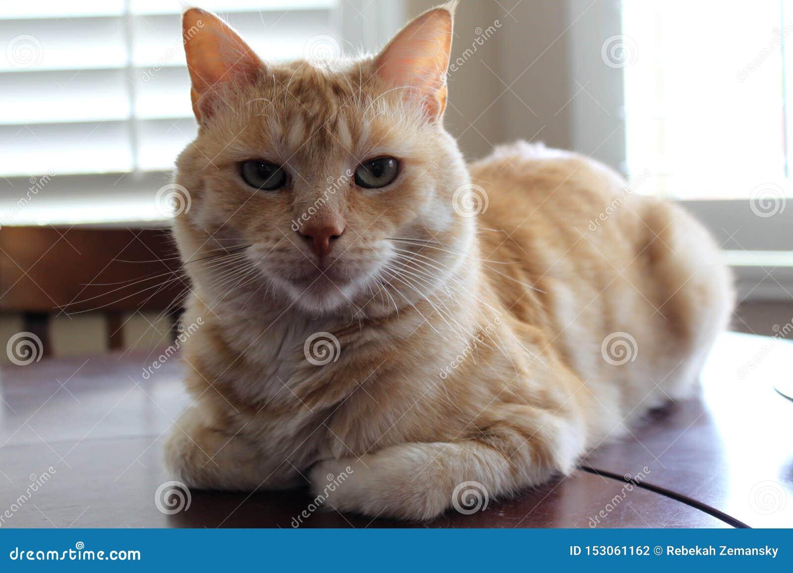 Retrato do gato alaranjado e branco