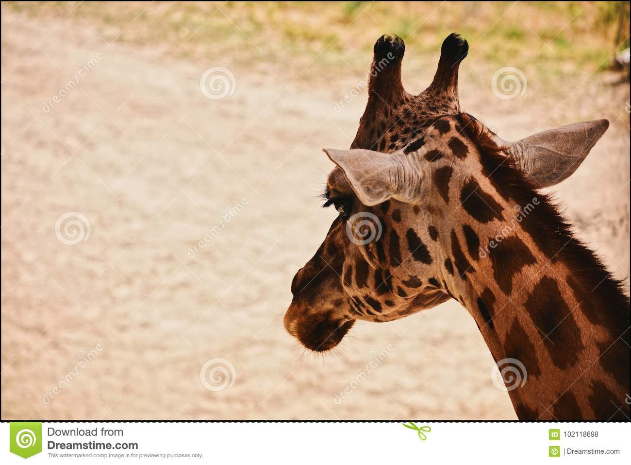 Retrato do Giraffe