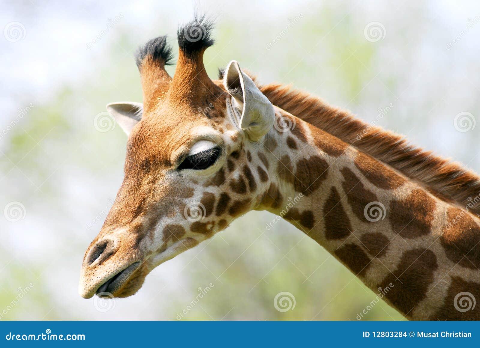Retrato do giraffe