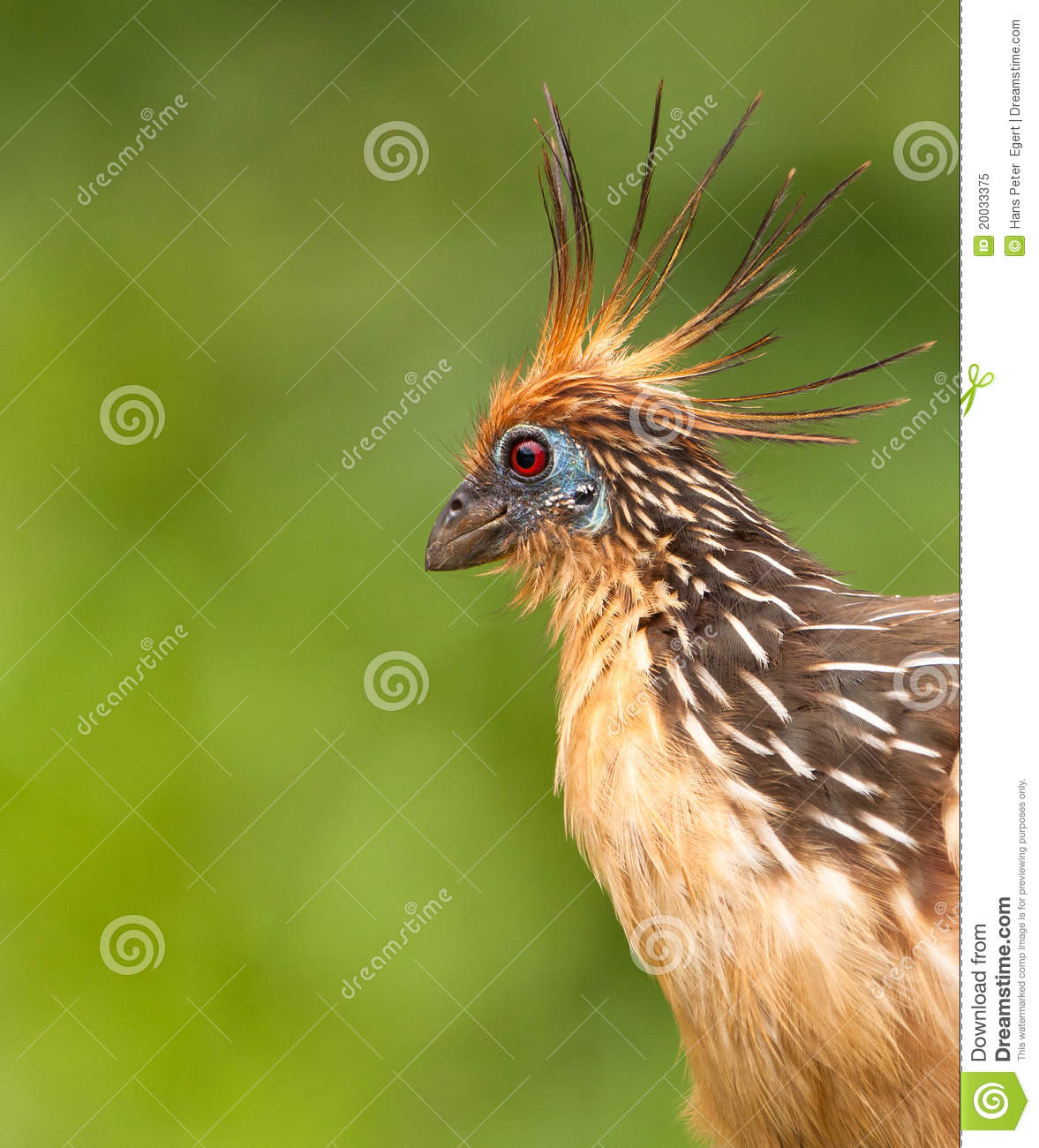 Retrato do Hoatzin singular