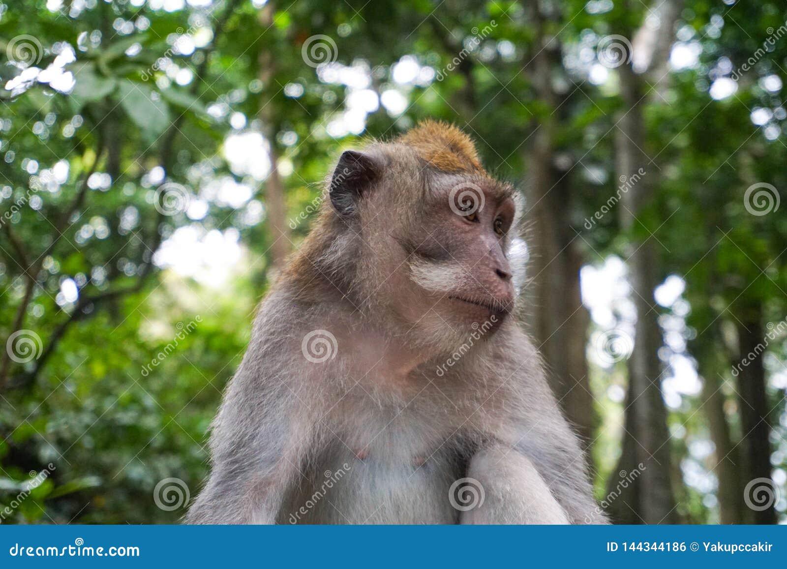 Retrato do homem do macaco para relaxar para sentar-se na rocha na floresta, macaco Forest Ubud, Bali, Indonésia