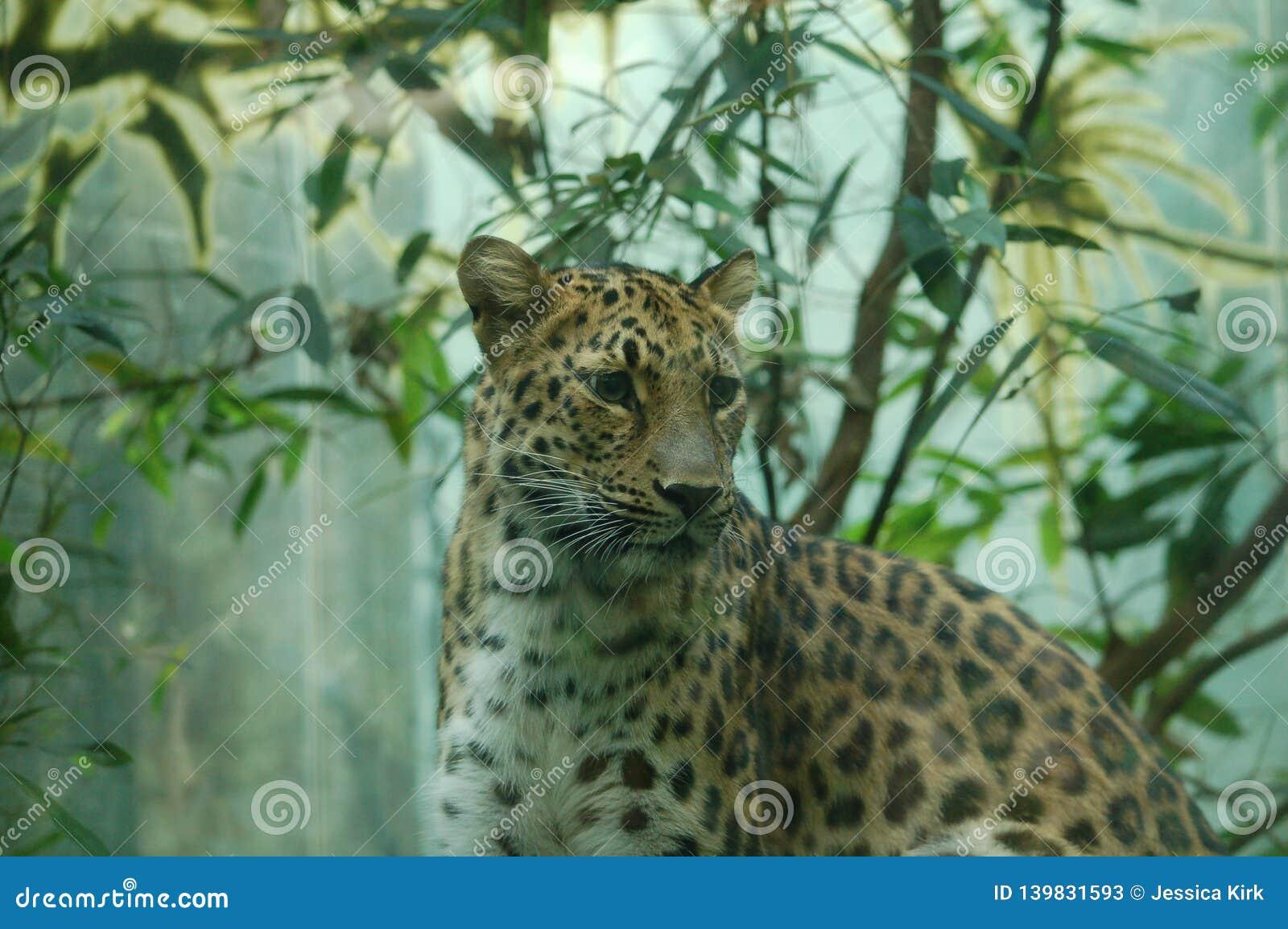 Retrato do leopardo no jardim zoológico