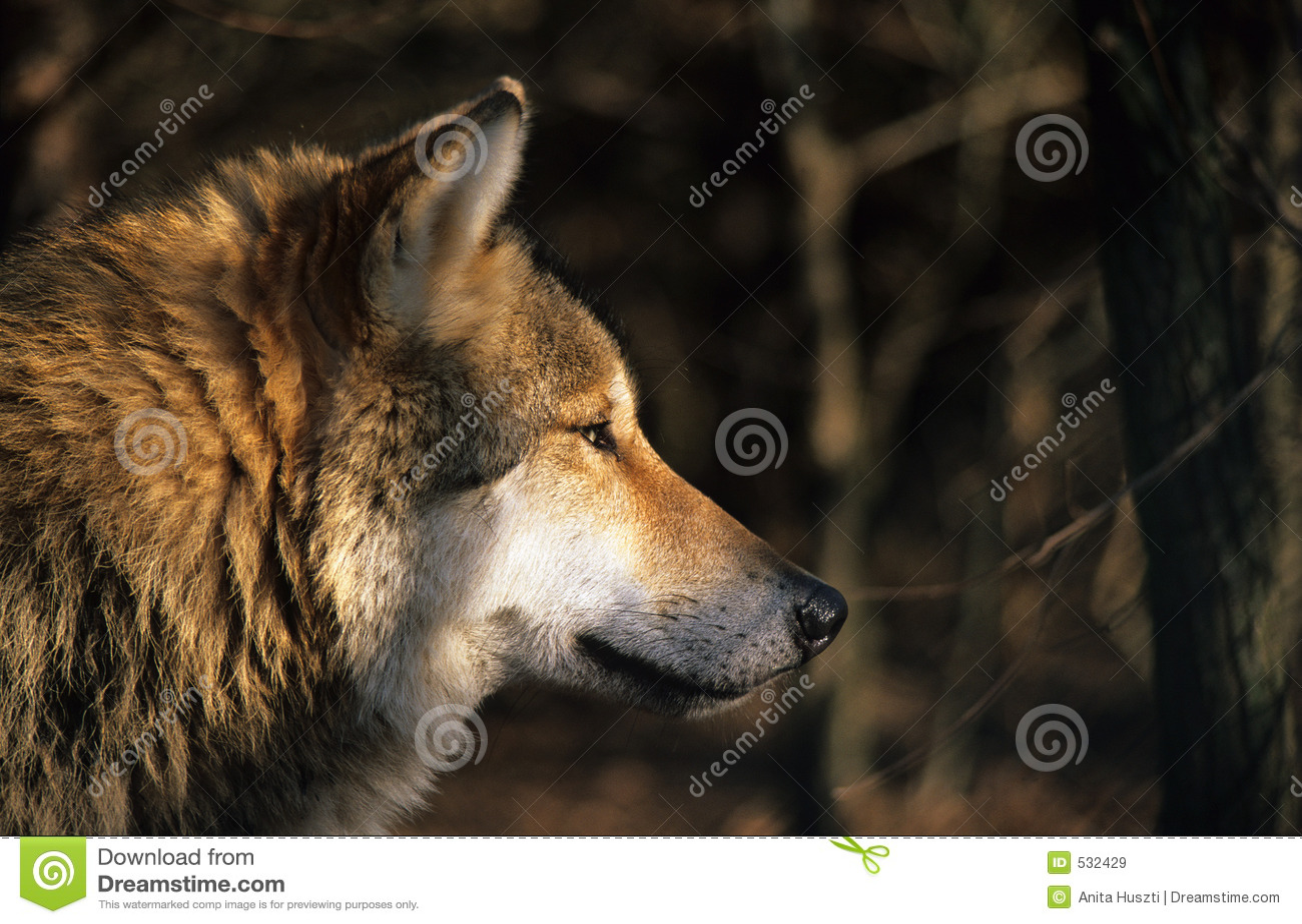 Retrato do lobo