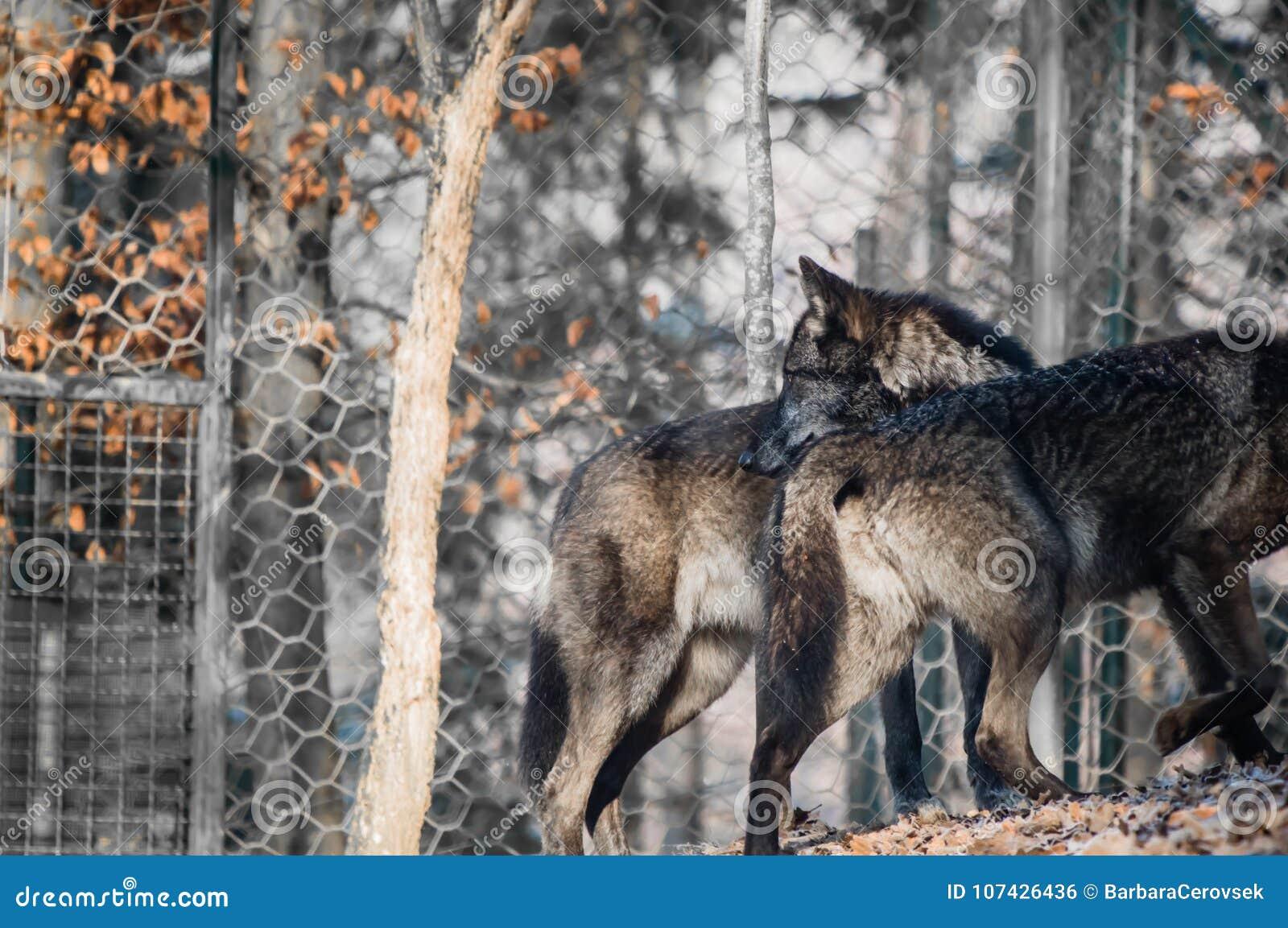 Retrato Do Lobos Pretos Peludos Bonitos Foto De Stock Imagem De