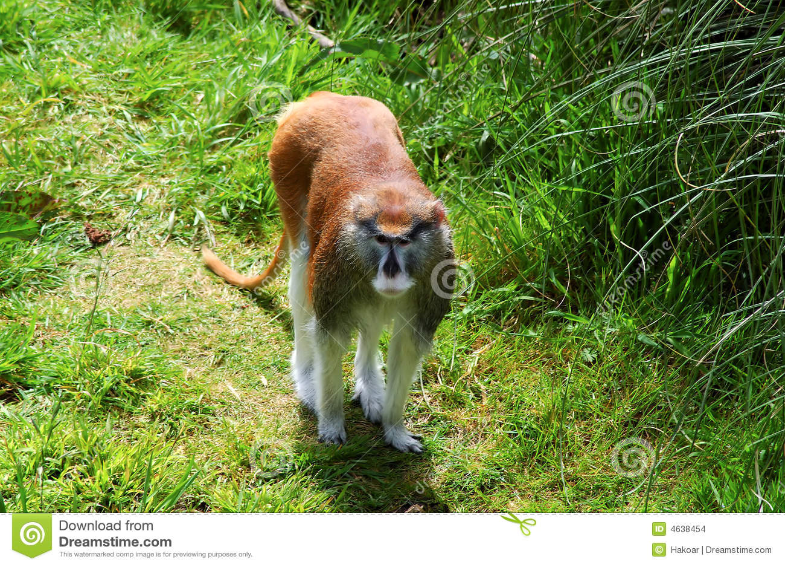Retrato do macaco de Patas