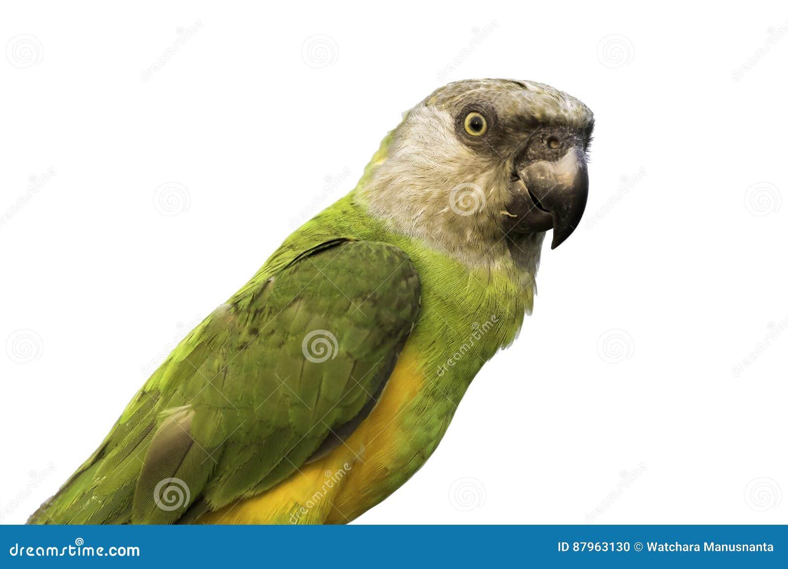 Retrato do papagaio de Senegal no fundo branco, trajeto de grampeamento
