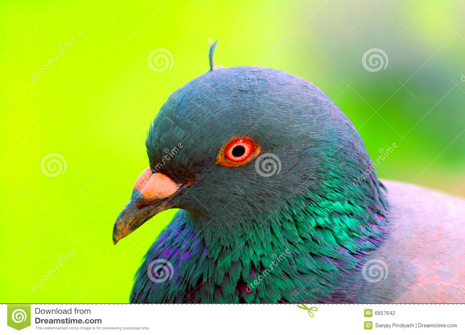 Retrato do pombo