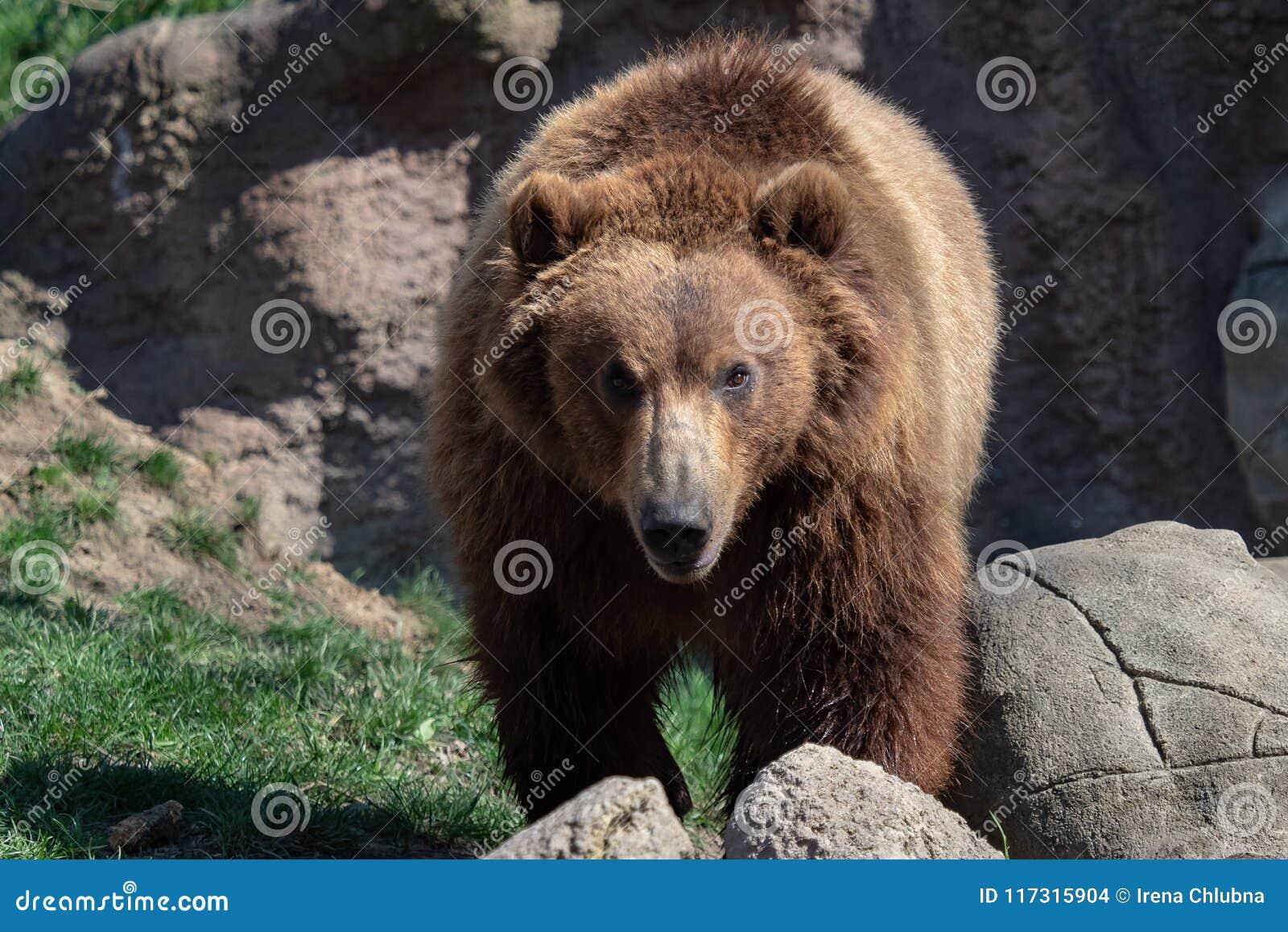 Retrato do urso marrom