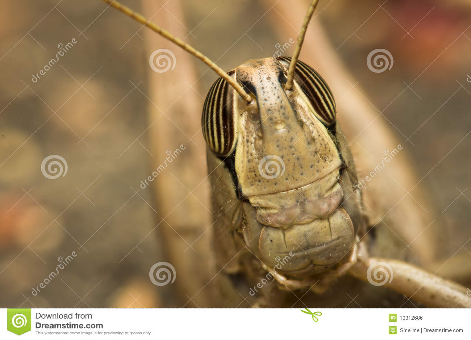 Retrato dos locustídeo