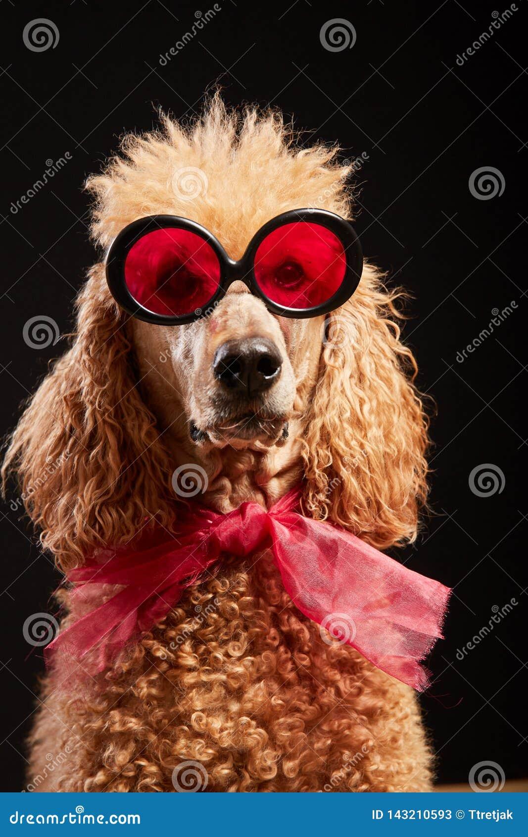 Retrato engraçado do cão com vidros