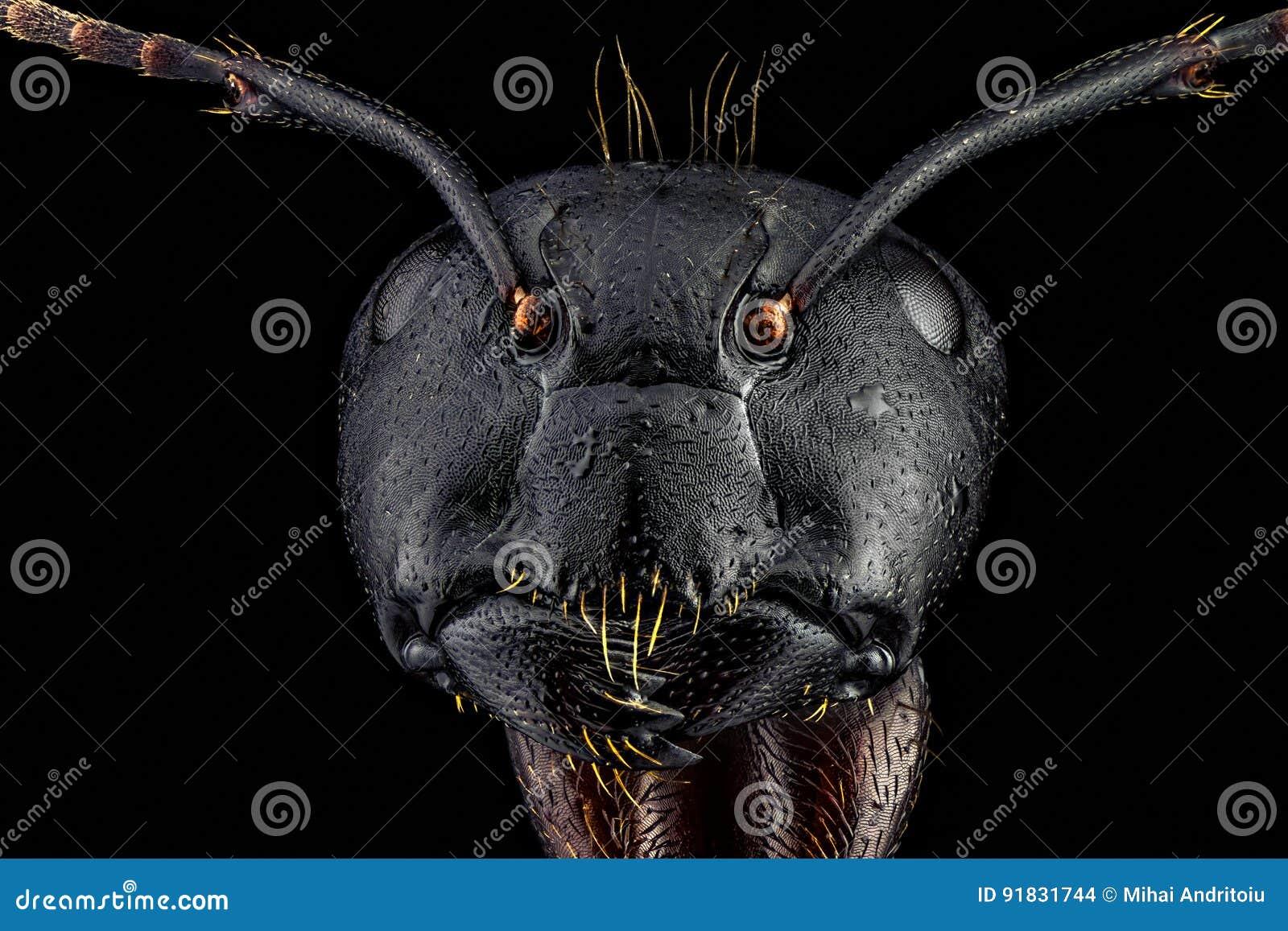 Retrato frontal completo de uma formiga