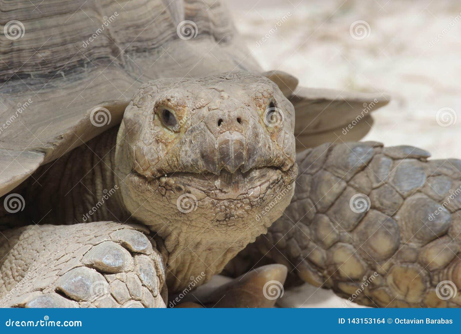 Retrato grande hermoso del solitario de la tortuga