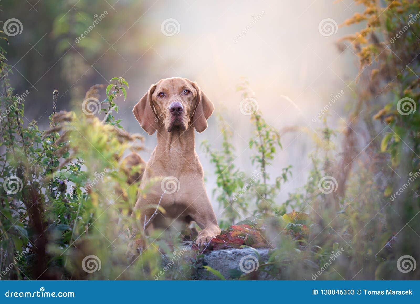 Retrato húngaro del perro del vizsla del otoño en sol de la mañana