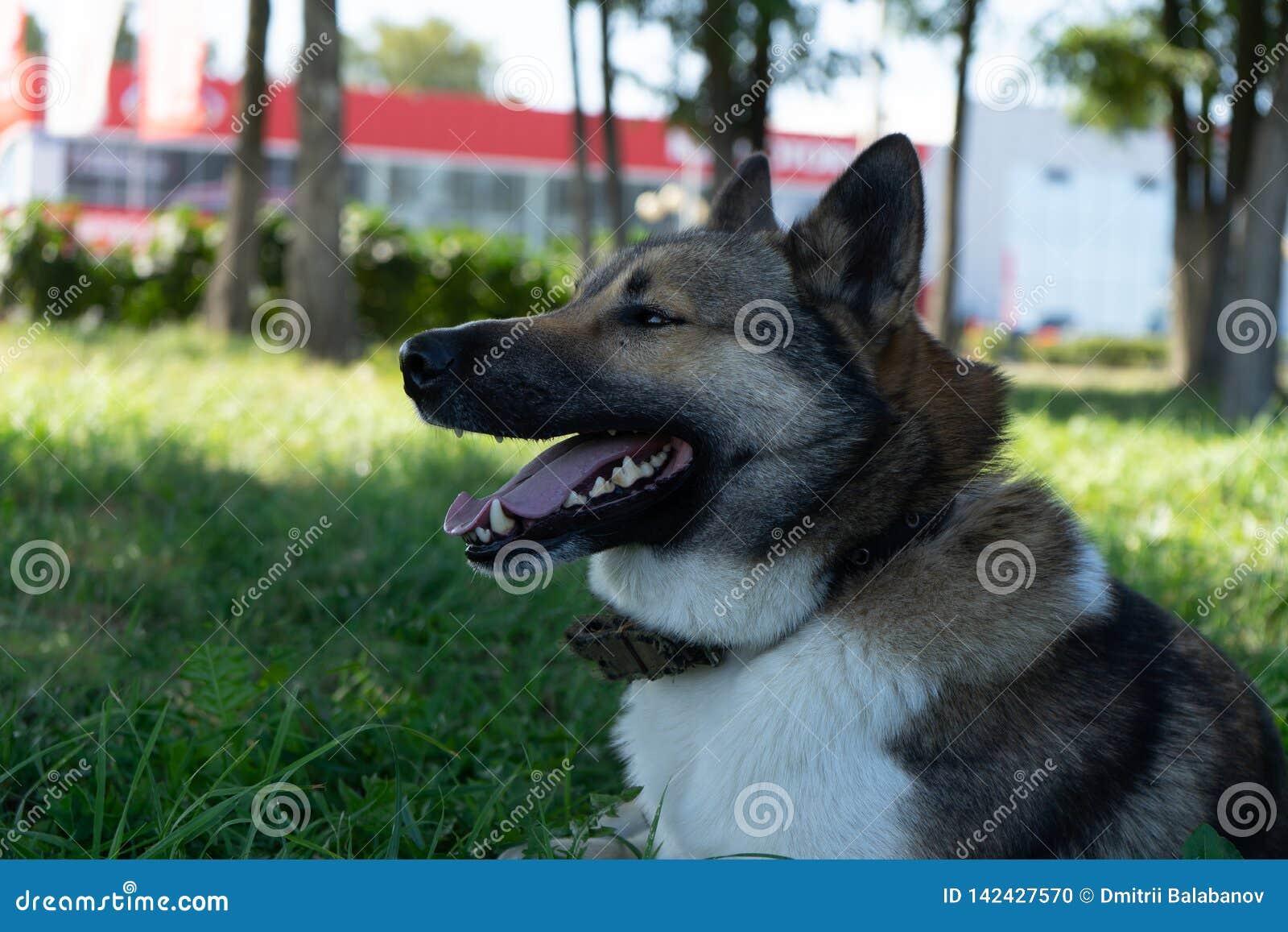 Retrato hermoso de un perro Laika siberiano Perro esquimal hermoso El perro es mejor amigo del ` s del hombre
