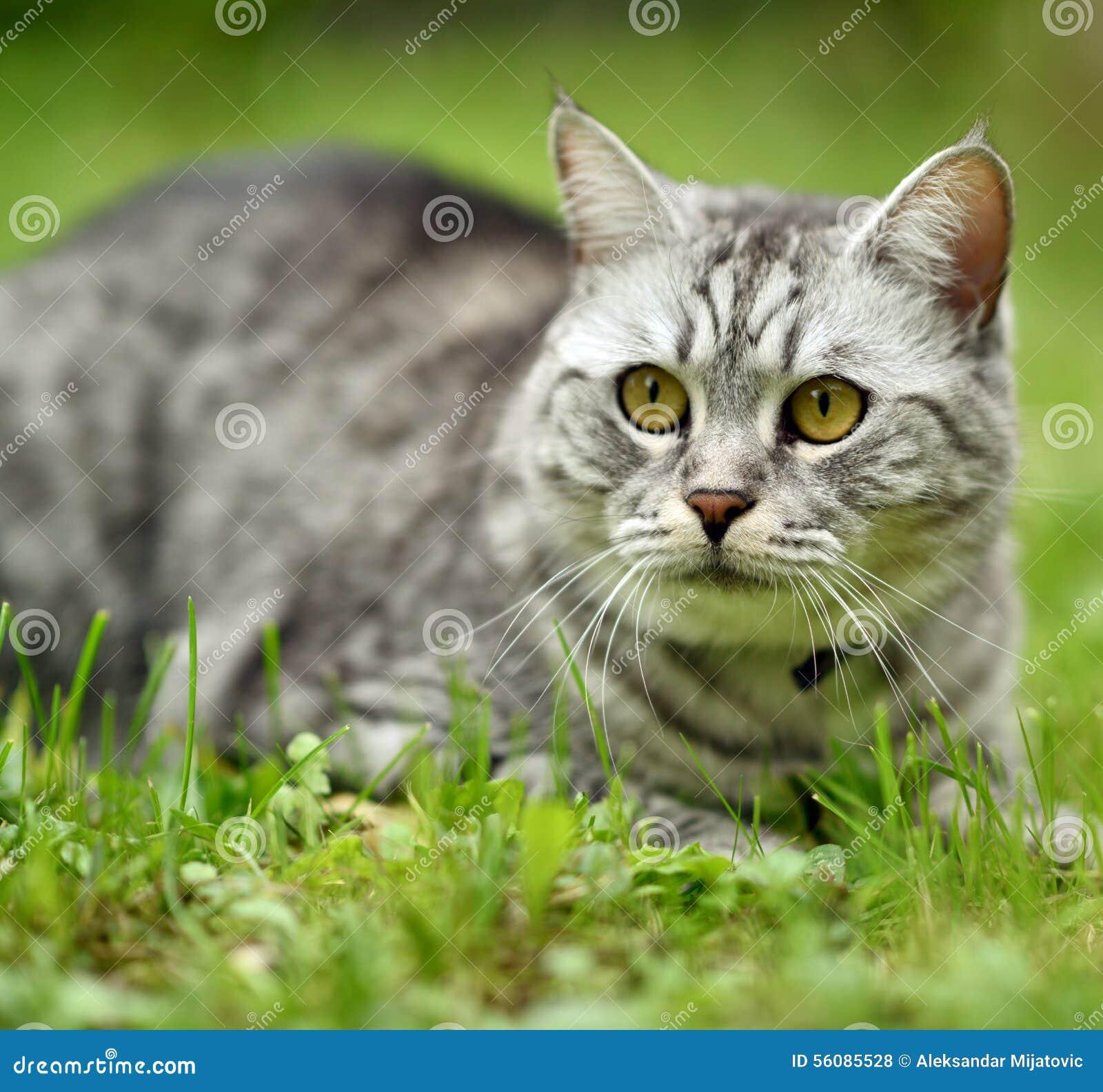 Retrato hermoso del gato de la furia