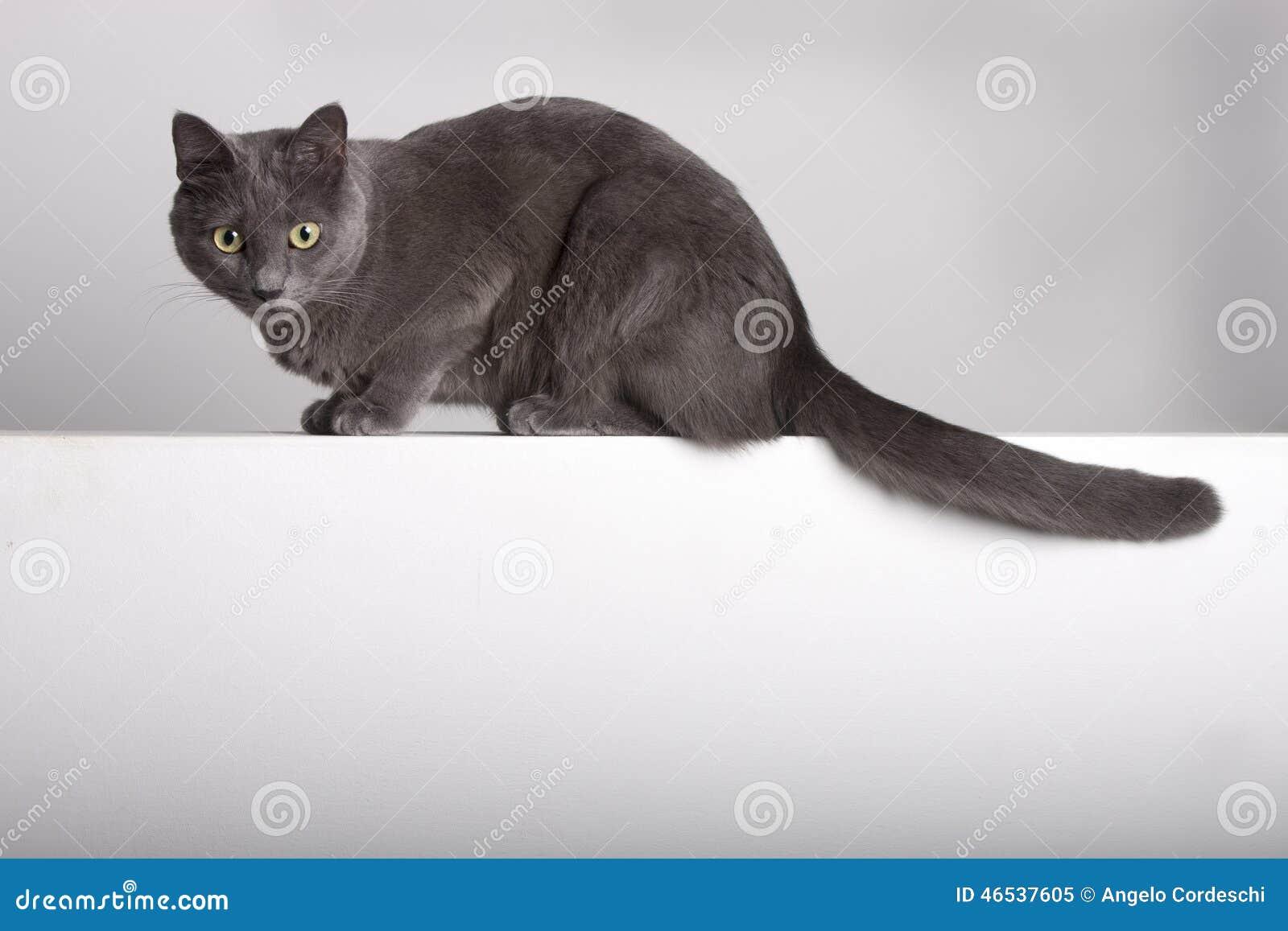 Retrato integral de un ruso cartujo/azul felino gris en la pared
