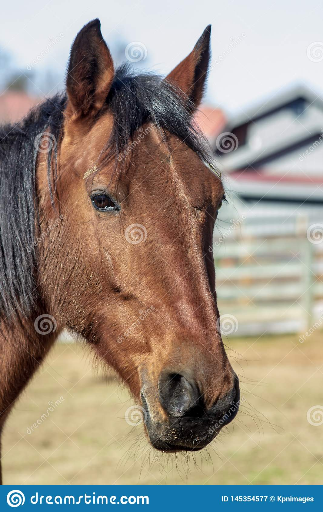 Retrato lateral do cavalo do marrom do perfil