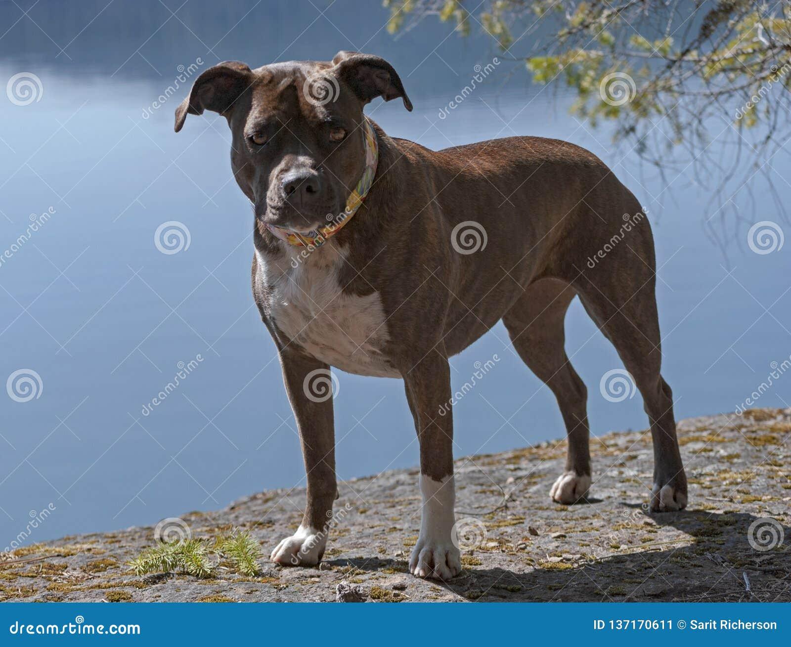 Retrato lleno del cuerpo de un personal berrendo Pit Bull Dog de la
